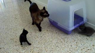 Male Siamese cat meeting 5-week old kittens.