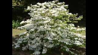 Viburnum plicatum 'Mariesii' video