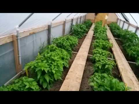 Saskatchewan greenhouse pepper garden July 11, 2017