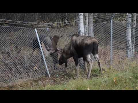 Wildlife Services responds to moose fight near Anchorage Airport