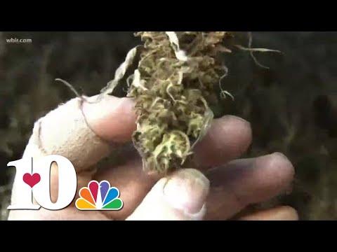 Hemp Farmers Harvesting Crops, Drying Buds For CBD Processing