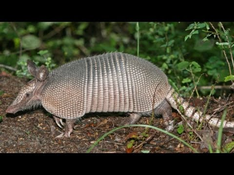 ARMADILLO {Catch Clean Cook} Do They Have Leprosy?