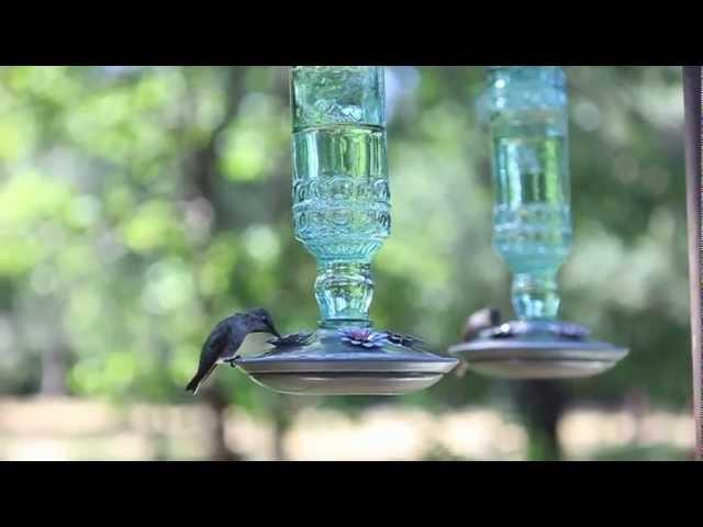 The Hummingbirds of Shingletown, California