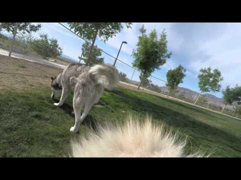 Siberian Husky Dog Vlog #30 Abby Cam with GoPro Fetch Dog Harness in 4K Chris Voss