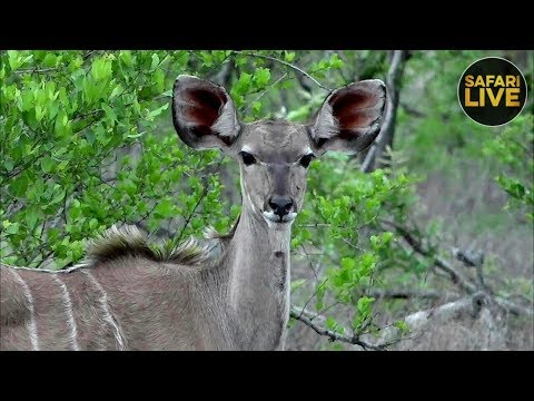 safariLIVE - Sunrise Safari - December 18, 2018