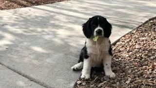 Aspen my english springer spaniel puppy 10 weeks