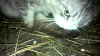 кошка ест здоровую крысу / cat eats large rat