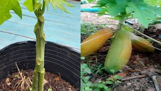 How to grafting Papaya Tree