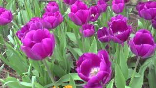 Cutting Garden Tulips