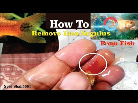 HOW TO: Remove Argulus Lice From Goldfish & Treatment Hindi Urdu English Sub