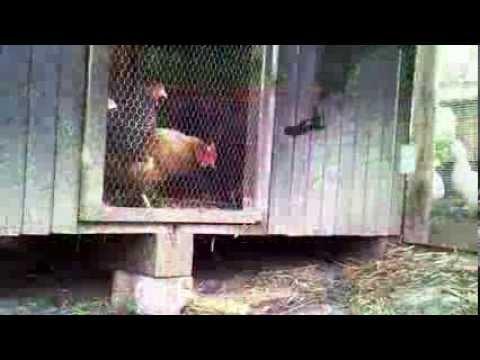 Co robią kury gdy gospodarza nie ma w domu?