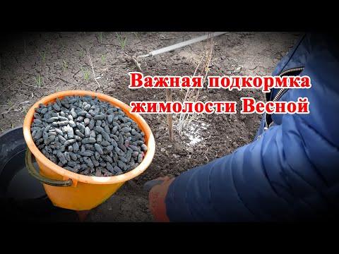 Срочно подкормите Жимолость! Важное удобрение для увеличения урожая плодовых кустарников.