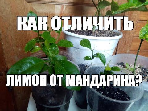 Как отличить росток ( саженец) лимона от мандарина