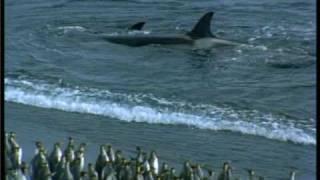 Predators: Orca hunting masterclass