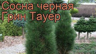 Сосна черная Грин Тауер (pinus nigra green tower) ???? обзор: как сажать, саженцы сосны Грин Тауер