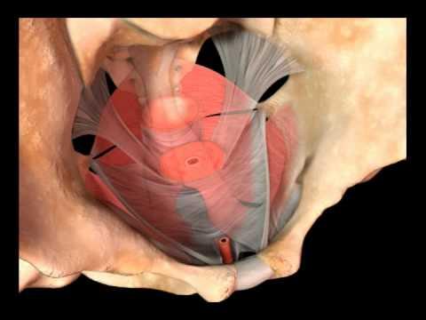 C.U.A.L. México - Anatomía de Piso Pélvico de la Mujer - YouTube