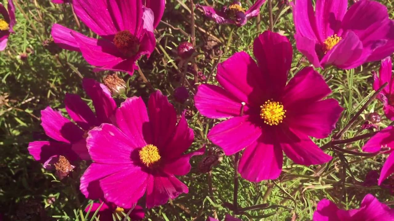 Clusters of pink cosmos flowers blooming in garden cosmos flowers clusters of pink cosmos flowers blooming in garden cosmos flowers gardening mightylinksfo Image collections