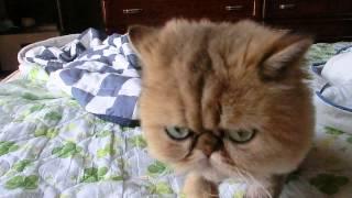 ペルシャ猫 寝起き①