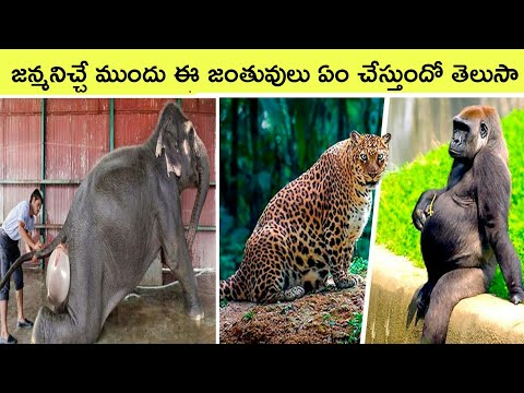 Top 10 Amazing Animals  Before Giving Birth | Bmc Facts | Telugu