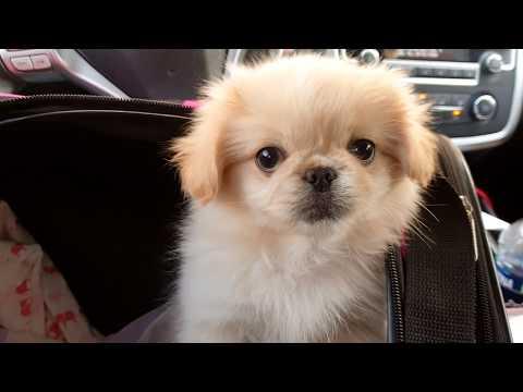 Chantilly Lace the white latte Pekingese Puppy dog
