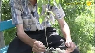 видео Перепрививка плодовых растений