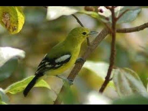 Burung Cipoh Jawara Gacor