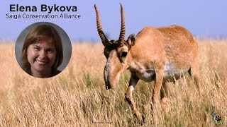 Saiga Conservation Alliance · Elena Bykova and Olga Esipova · Expo 2014