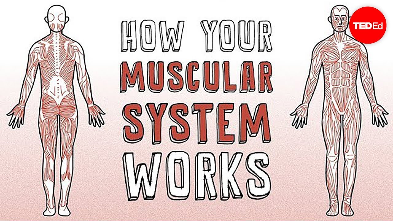 How Your Muscular System Works Emma Bryce Youtube