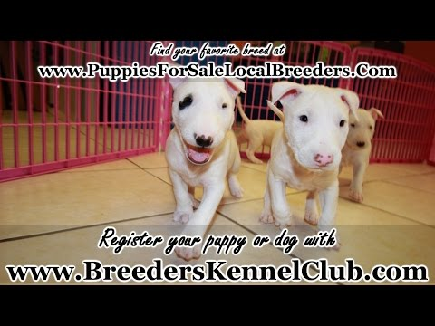 Bull Terrier, Puppies, Dogs, For Sale, In Atlanta, Georgia, GA, Savannah, Sandy Springs, Roswell