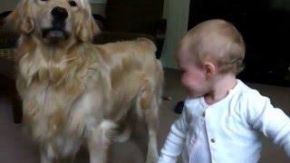 Toddler Laughs At Barking Golden Retriever