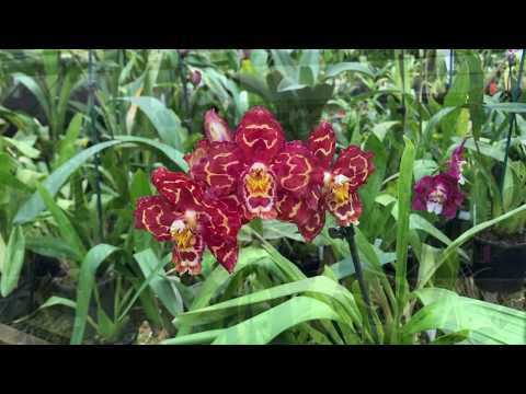 Oncidium Orchid Varieties