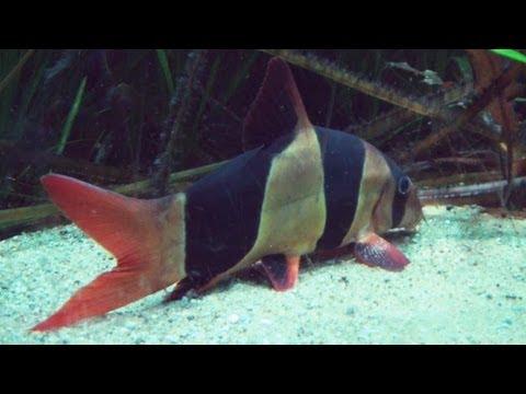 Prachtschmerlen Im Aquarium Alle Infos Eckdaten Und Details