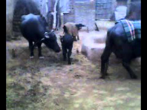 Village life.... cattle