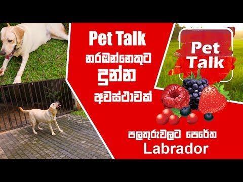 ඔයාගේ බල්ලවත් dog show චැම්ප් කෙනෙක් කරන්නේ කොහොමද ? පලතුරුවලට පෙරේත Labrador | Pet Talk