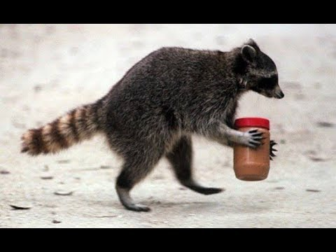 Image result for cute raccoon