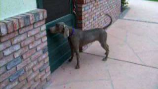Weimaraner Rescue Stoney Video 1