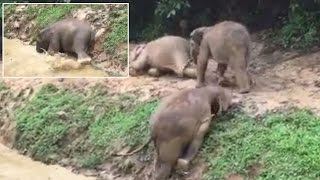 Adorable Baby Elephant Slips And Slides Trying To Get Out Of Muddy Water Pit
