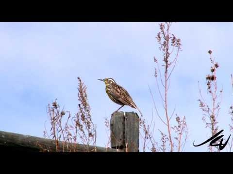 Western Meadowlark Singing HD  - Sturnella neglecta