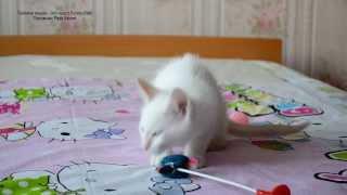 Тайские котята солнечного окраса! Тайские кошки - это чудо! Funny Cats