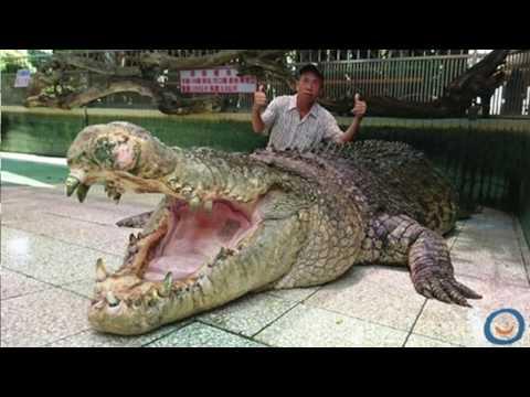Crocodile Geant (2019) -  Les 10 Plus Gros Crocodiles du Monde!
