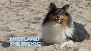 Shetland Sheepdog Breed Information