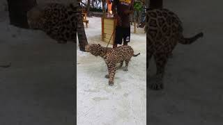 MUST WATCH: JAGUAR on a leash Roatan Honduras