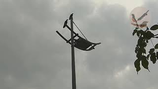 Habitat burung jalak liar di singapura sangat bebas sekali di kota kota.