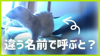 """Ferret come to me call the name """"○○"""". -- いたちラボ関連URL http://f..."""