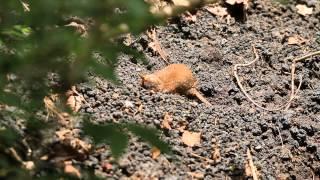 ♪鳥くん野鳥動画(静岡県Shizuoka/Japan)ミソサザイ砂浴びEurasian Wren's'  dust bath