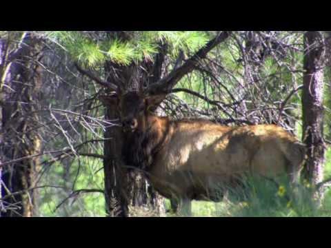 Arizona White Mountain Apache Elk Hunt - Boone And Crockett Country