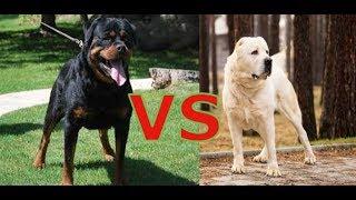 собачий бой Ротвейлер VS Алабай какая собака сильнее и круче 2019