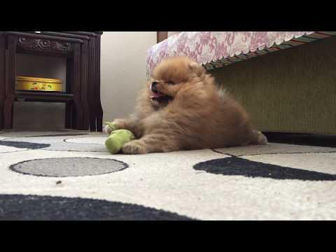 Satilik Pomeranian Boo Yavru