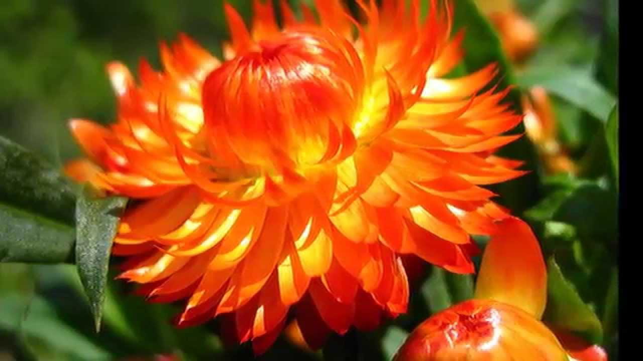 фото бессмертника цветка