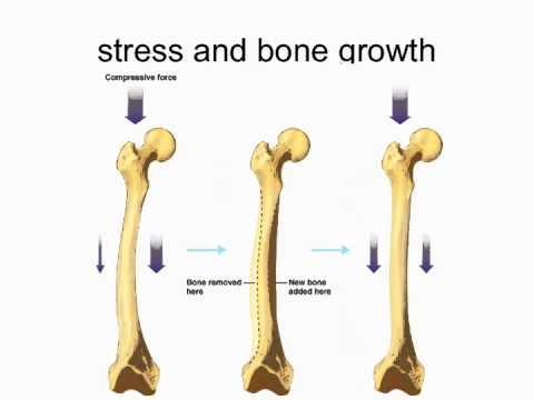 development and maintenance of bone - youtube, Skeleton